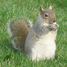 A Squirrel In York&#x27;s Museum Gardens (V) by AARDVARK