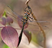 American Emerald by Bill Morgenstern