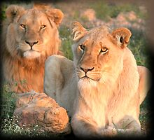 Pair of the proud pride by Chris Coetzee