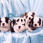 English Bulldog Puppies by ronibgood