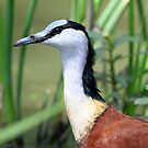Portrait of an African Jacana by jozi1