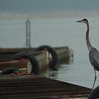 Blue Heron by KBSImages