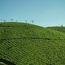 Tea Plantation by Rebecka Wärja