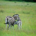 BABY ZEBRA WITH MOM by Larry Glick