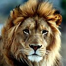 Majestic Lion by Judson Joyce
