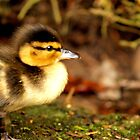 Little Duckling  by colette2511