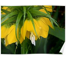 Yellow Crown Imperial   ^ Poster