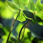 four-leafed clover by Dan Shalloe