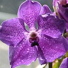 Purple Vanda Orchid  by orchidcat