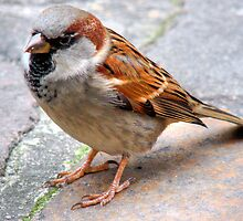 Sparrow by Andy Harris