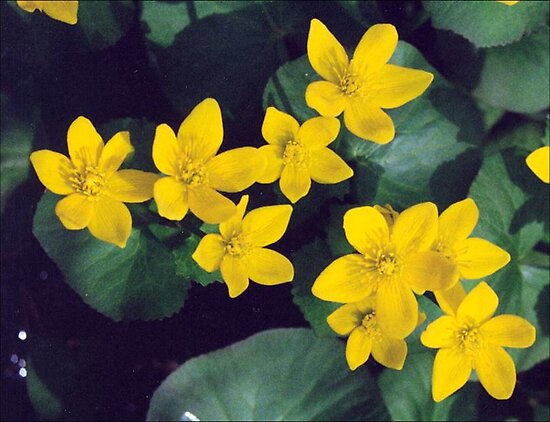 Marsh Marigolds by AuntieJ