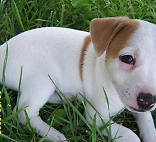 Jack Russell Puppy by bambi1