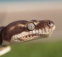 Concentration - Rough Scaled Python by Steve Bullock