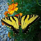 Yellow male Eastern Tiger Swallowtail by Susan S. Kline