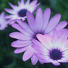 daisy daisy by picketty