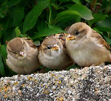 Three young sparrows by M G  Pettett
