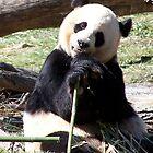 Panda-rama by pbeltz