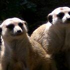 Meerkat buddies by astone