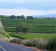 Gulgong Vineyard by pedroski