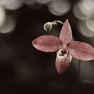 Lady Slipper Orchid by sara montour
