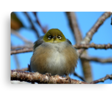 Do not mess with me - Wax Eye - New Zealand Canvas Print