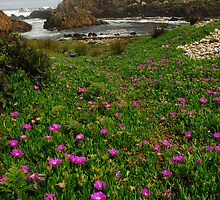 Native Pigface on Tarkine coast by Michael Walters