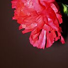 sweet carnation by Jordan Ryan