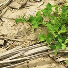 clover on cracked soil by Jena Ferguson