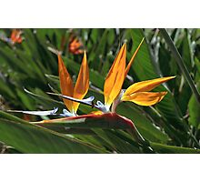 bee and bird of paradise Photographic Print