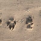 Doggy tracks in the sand by stuwdamdorp