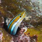 Happy Blenny by Mark Rosenstein
