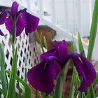 Iris by Abbetha Smith