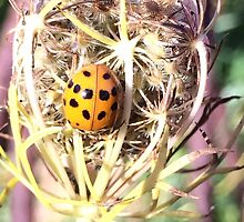 Ladybird beetle on Queen Anne's Lace by Hickoryhill