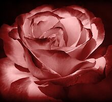 Red rose by athala