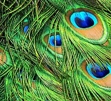 Peacock Feathers Up Close by Rosalie Scanlon