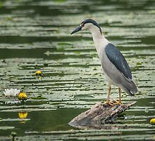 black-crowned night heron by AlRobinson