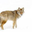 Coyote in Winter by Jim Cumming