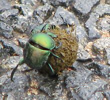 Green Dung beetle by Sue Morhall