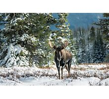 Canadian Western Bull Moose Photographic Print