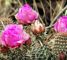 Prickly Pear Cactus Blooms by Ryan Houston