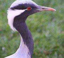 Demoiselle Crane (Head) by jdmphotography