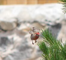 House Finch in Flight by aaronson24