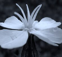 White Campion - a different view by Sharon Perrett