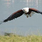 African Fish Eagle in flight for food. by Tom Marantette