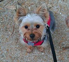 Cute Little Yorkie by Peggy  Volunteer Photographer FOR RESCUE ANIMALS