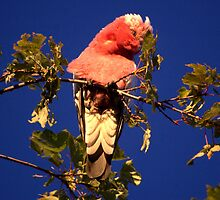 Galah in the Tree. by lettie1957