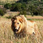 Lion In the Grass. by GRAEMEGM