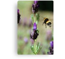 Flight of the bumblebee Canvas Print