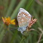 Common blue butterfly by cappa