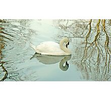 A Mute Swan On York's River Ouse Photographic Print